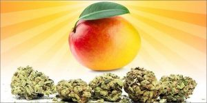 Kush-and-Mangos2