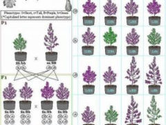 Cannabis Breeding & Intersex Condition