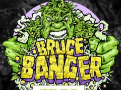 Bruce Banger Feminised Seeds On Sale
