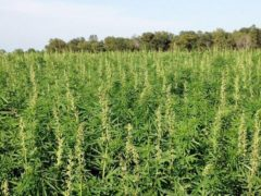 GOT HEMP? What's Legal & What's Not in Virginia (VA) December 11 2019